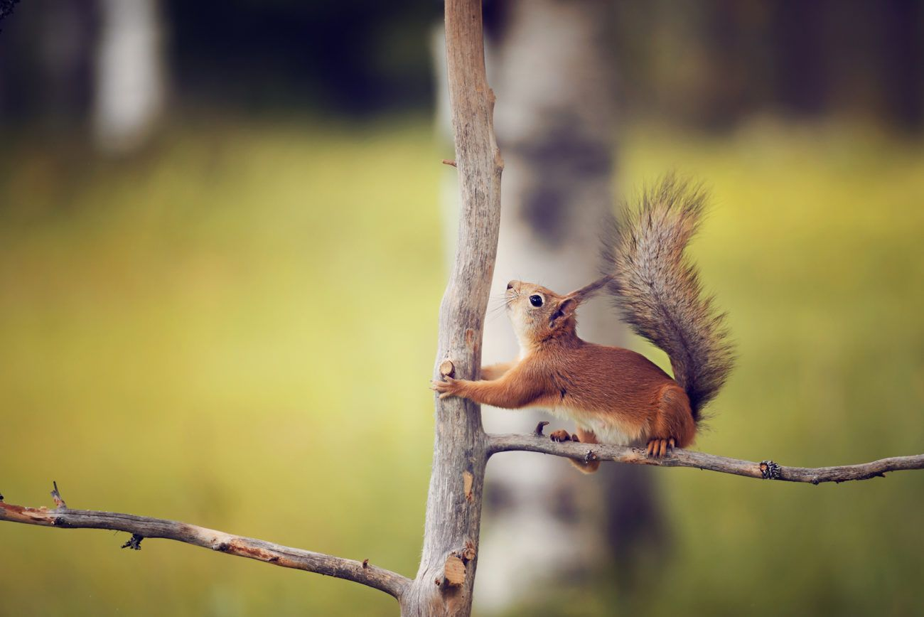 Lauren Bath - Little Squirrel Wildlife Photography Finland