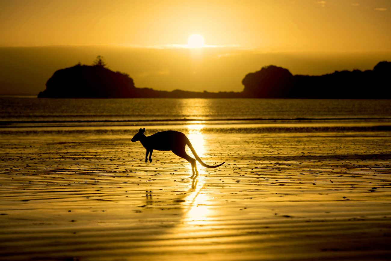 Lauren Bath - Sunrise Kangaroo Wildlife Photography. Cape Hillsborough Nature Resort Mackay. Queensland, Australia