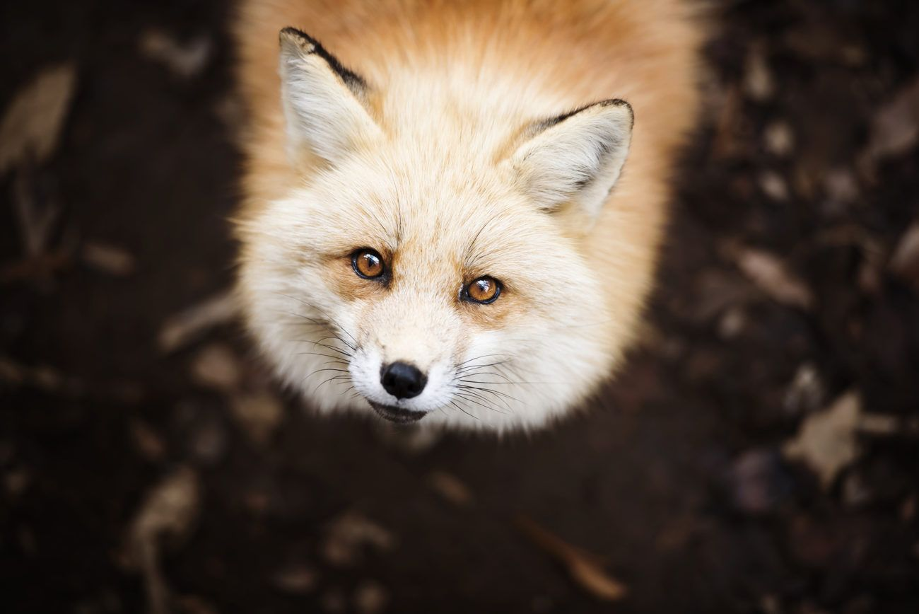 Lauren Bath - Mister Fox Wildlife Photography. Miyagi Zao Fox Village, Shiroishi Japan