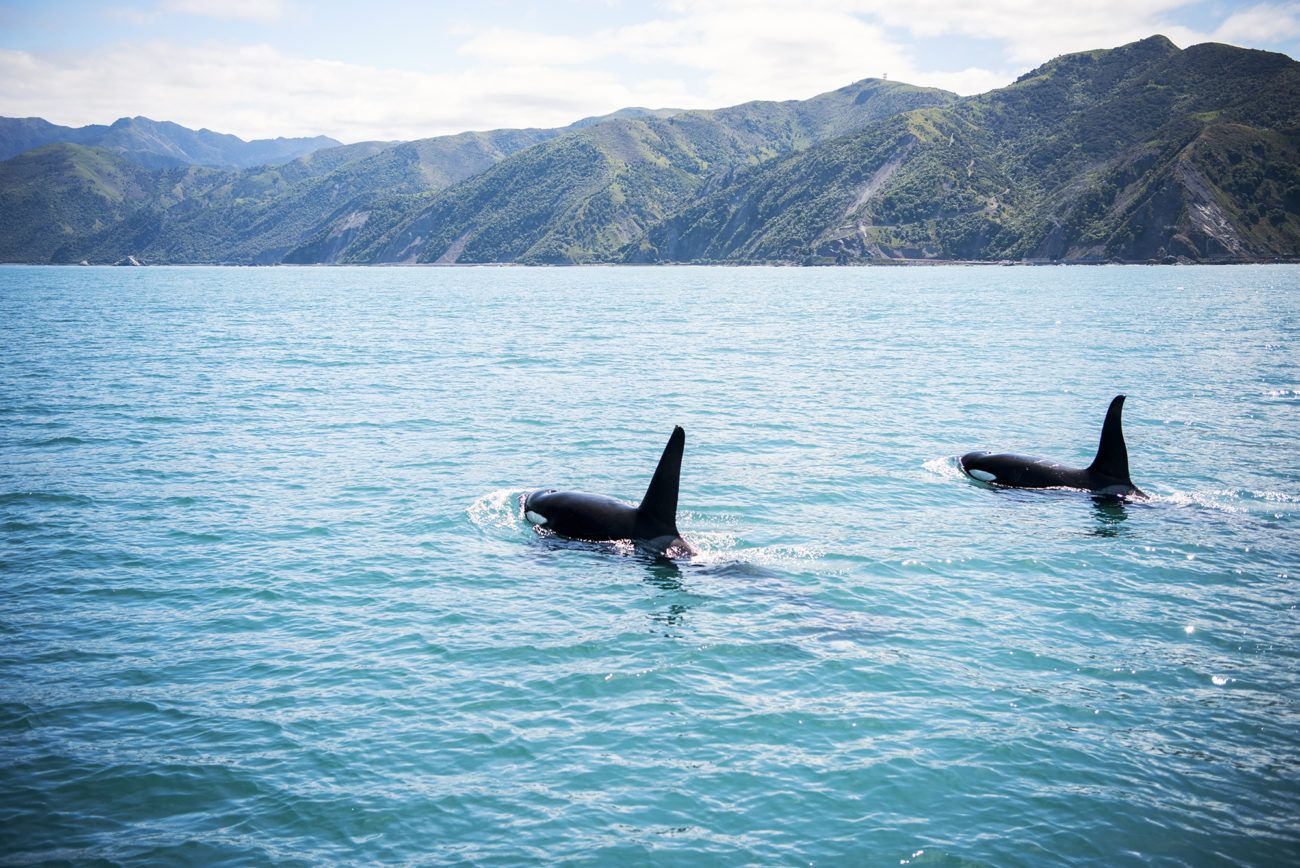 Lauren Bath - Two Orcas Kaikoura New Zealand