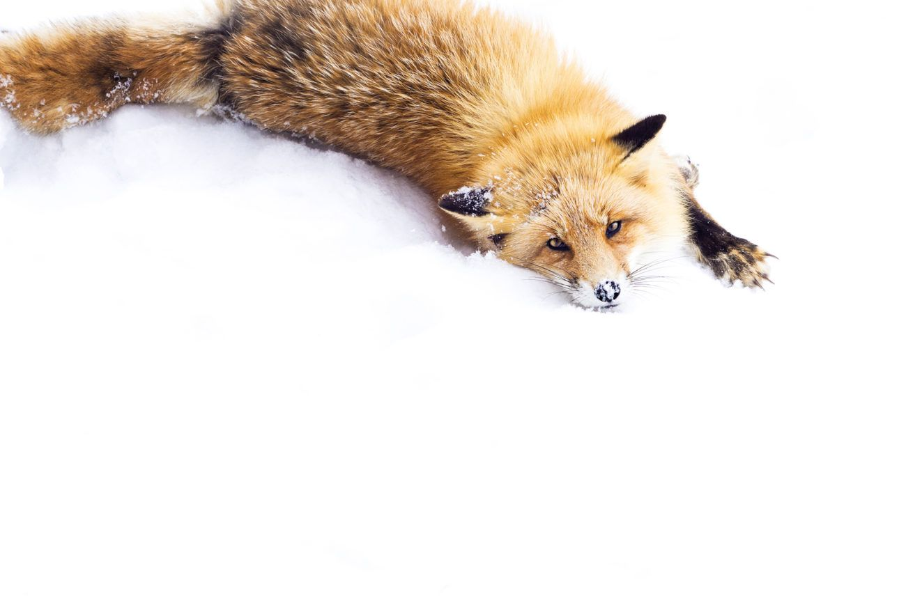 Lauren Bath - Snow Rolls Fox Wildlife Photography. Hokkaido Japan