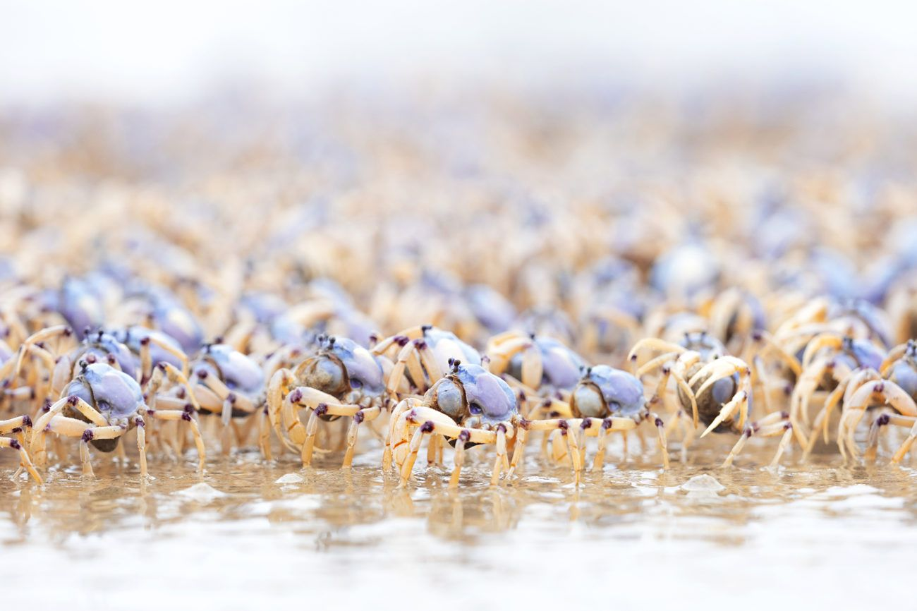Lauren Bath - Crabs Upon Crabs Wildlife Photography. Iluka, Clarence Valley New South Wales Australia
