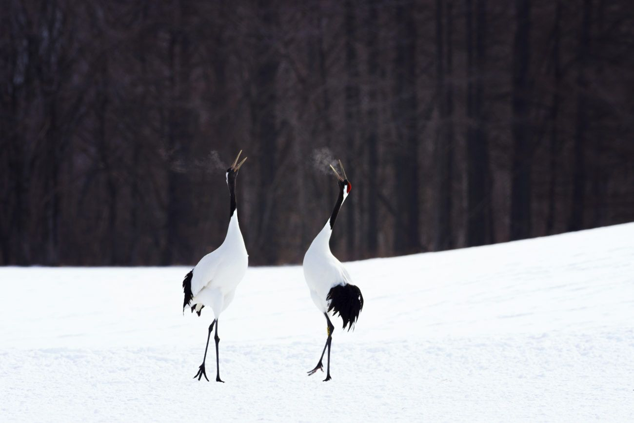 Lauren Bath - Breathing Red Crowned Cranes Tsurui Ito Sanctuary. Hokkaido Japan