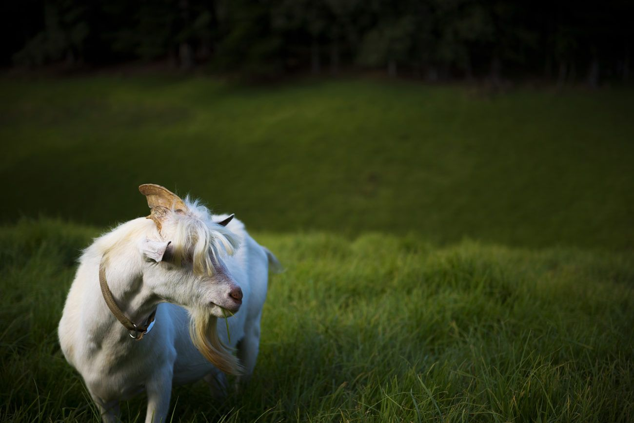 Lauren Bath - Rocco Goat Wildlife Photography. The Hilli Goat Cheese Tour, Norfolk Island Australia