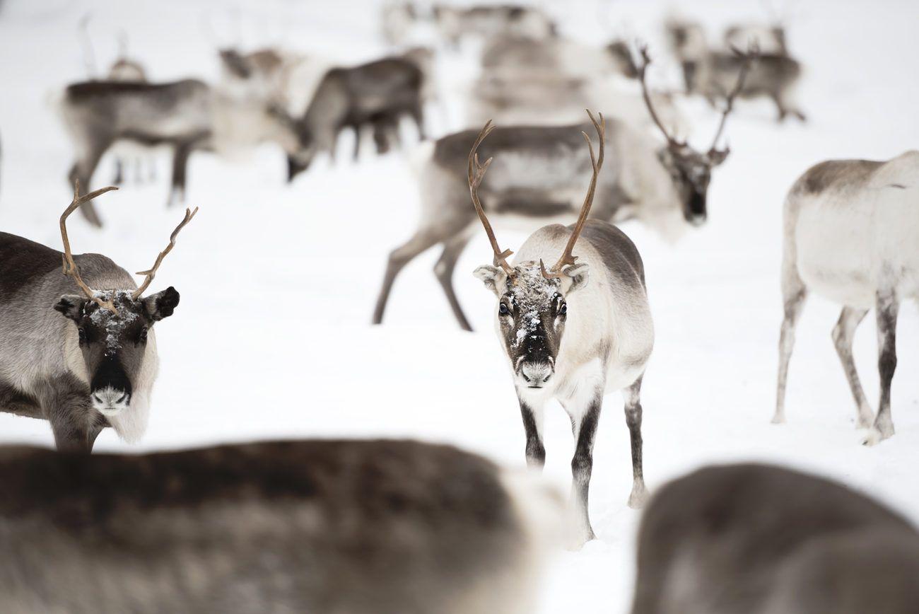 Lauren Bath - Reindeer Herd Wildlife Photography. Inari Saariselka, Reindeer Farm Petri Mattus. Finland, Lapland