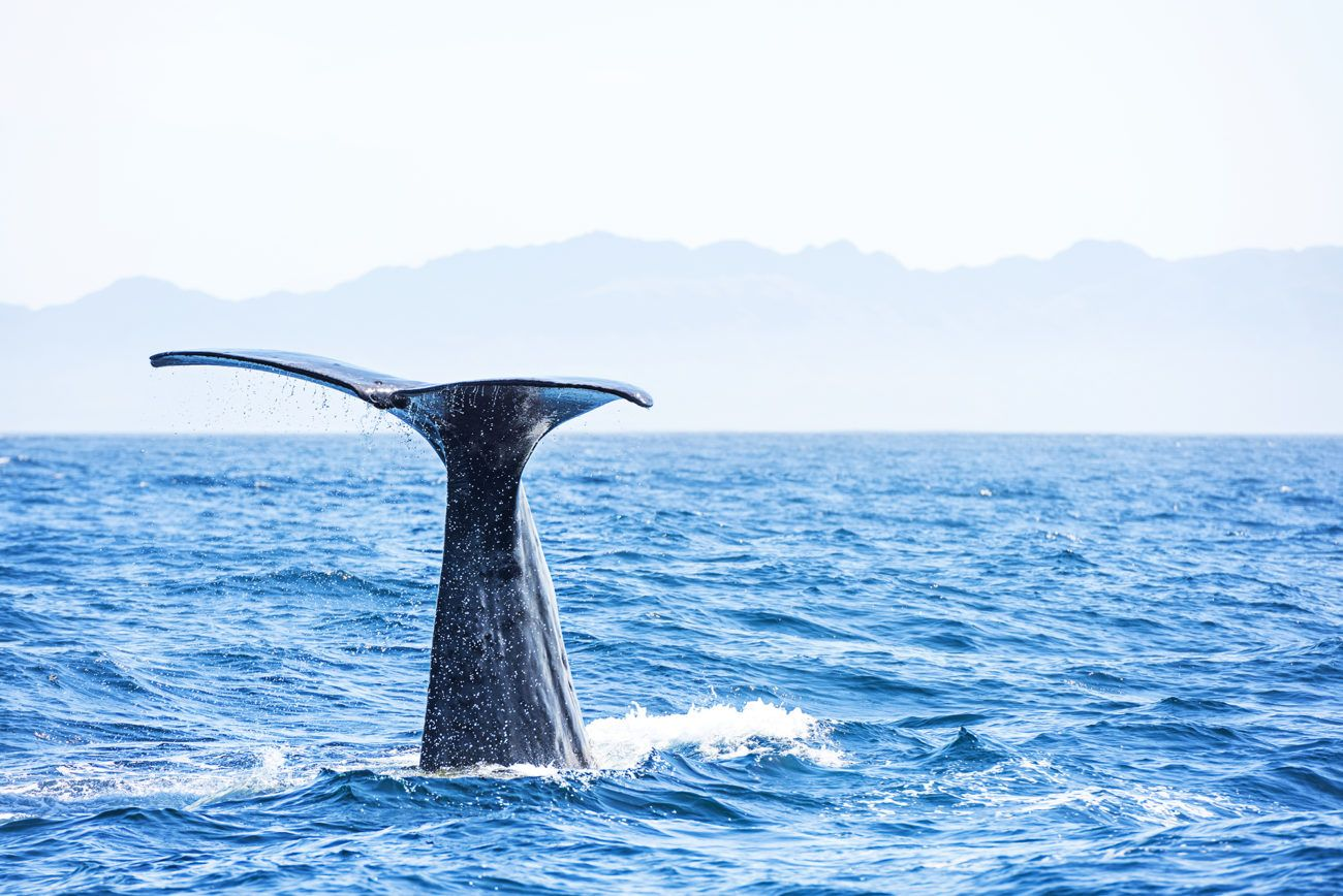 Lauren Bath - Whale Tail Wildlife Photography. Sperm Whale, Kaikoura New Zealand