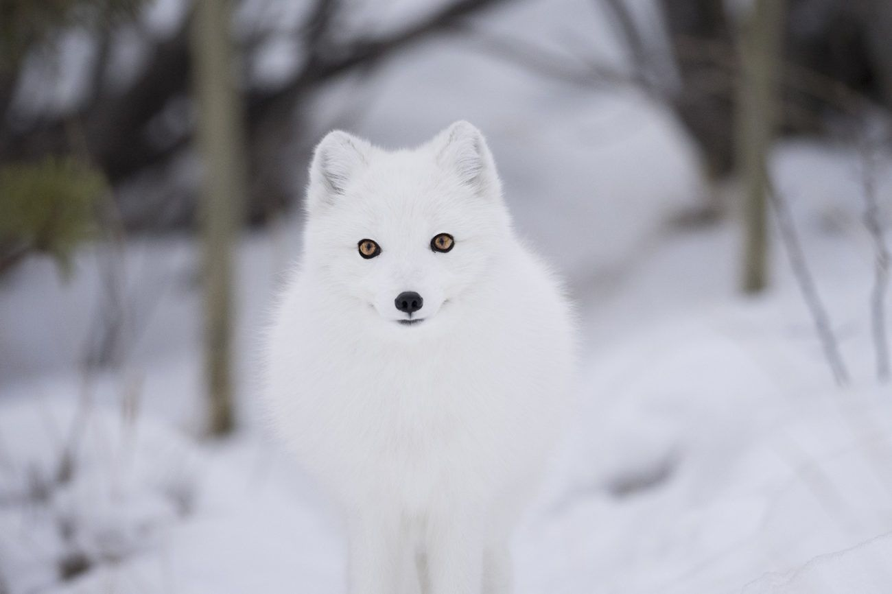 Lauren Bath - Arctic Fox Wildlife Photography Yukon Wildlife Preserve Whitehorse, Canada