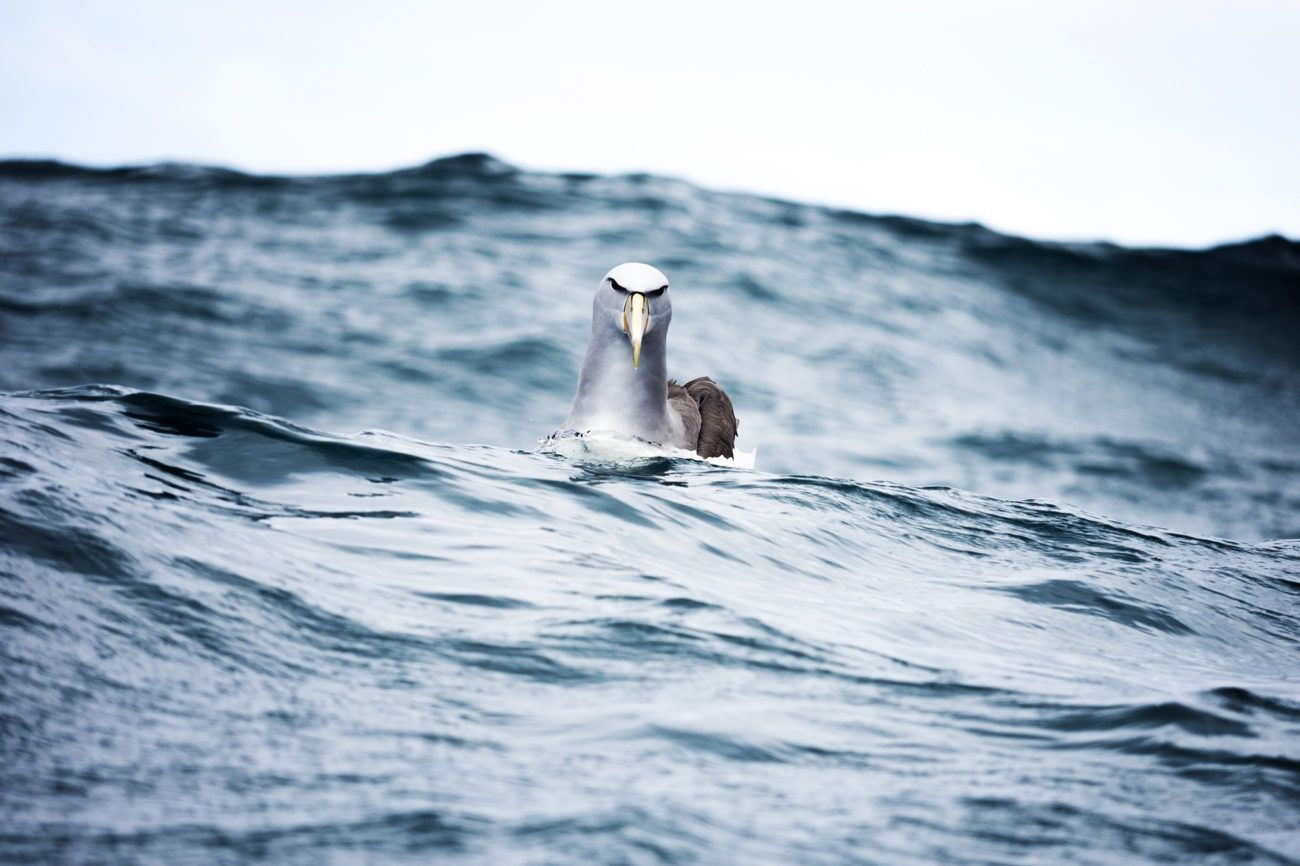Lauren Bath - Angry Bird Albatross Wildlife Photography Kaikoura New Zealand